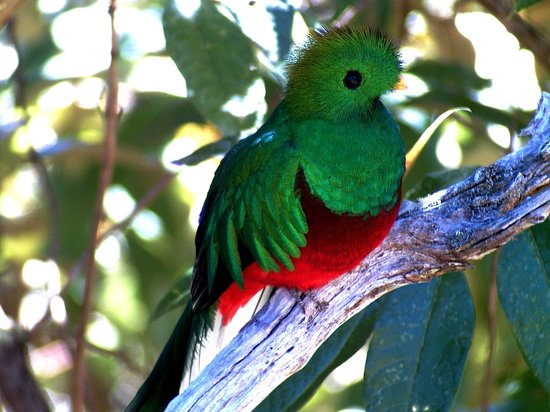 Savegre Hotel, Natural Reserve & Spa: The Resplendent Quetzal, 5 min from the hotel