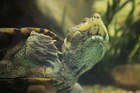 National Mississippi River Museum & Aquarium: Saw-shelled turtle