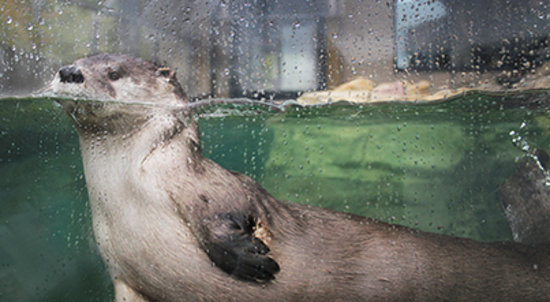 National Mississippi River Museum & Aquarium: river otter