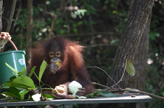 Shangri-La's Rasa Ria Resort & Spa: feed time for baby orangutan