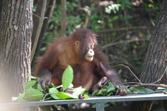 Shangri-La's Rasa Ria Resort & Spa: Baby orangutan
