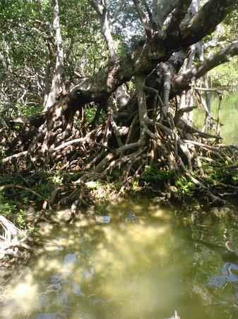 Capt. Sterling's Everglades Tour: Mangrove