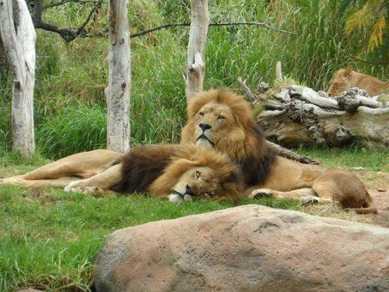 Perth Zoo: Leões