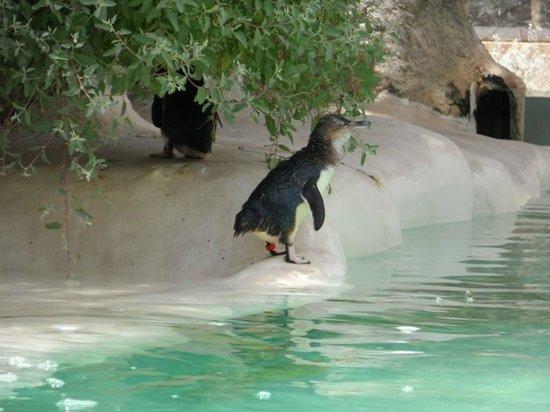 Perth Zoo: Pinguins