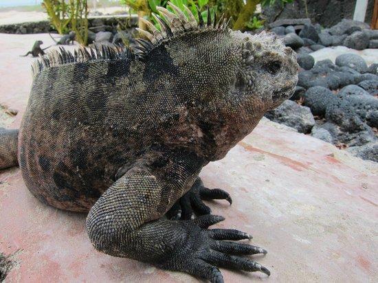 Las Tintoreras: Морская игуана крупным планом