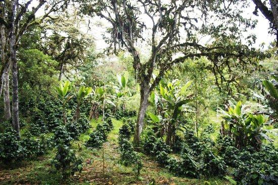 Tucanopy: Café organico