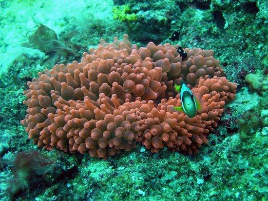 anemone rosso con pagliaccio immersioni nosy be