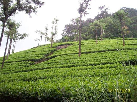 Wild Elephant Eco Friendly Resort : Tea estate