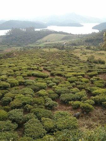 Red Hill Nature Resort: you can walk along the tea estate to the lake down below