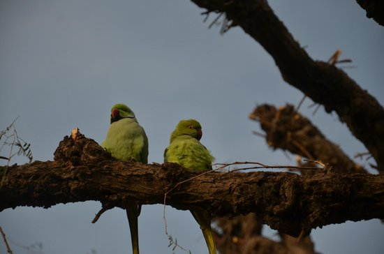 Ajitbagh : Lots of parrots!