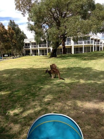 The Sebel Swan Valley the Vines : Kangaroos outside apartments on golf course