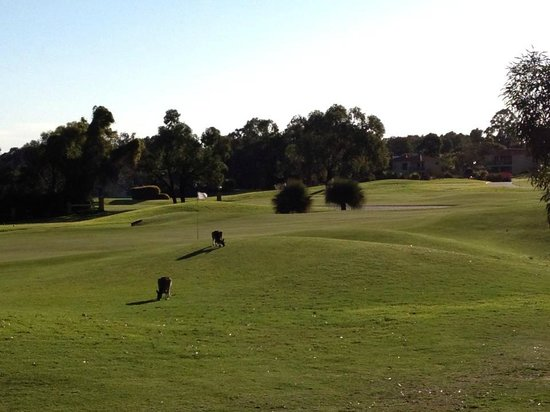 The Sebel Swan Valley the Vines: Kangaroos on golf course