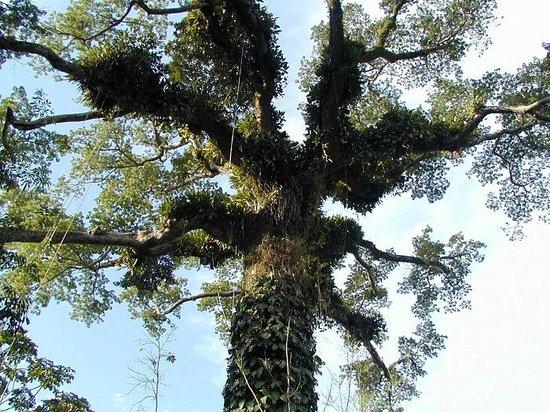 Dorado Hotel: Árvore na Floresta Amazonica Peruana