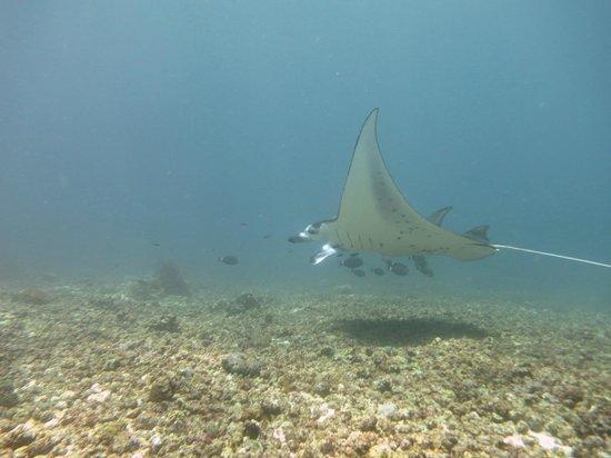 Divine Diving: Mantas