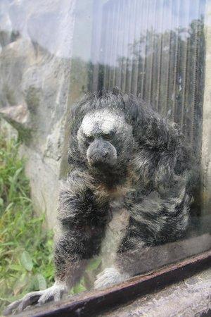 Zoologico de San Martin: parahuaco, a very fluffy monke