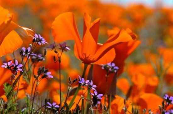 Palmdale, Калифорния: Antelope Valley California Poppy Reserve - Lancaster, CA