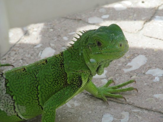 Marriott's Aruba Surf Club: A younger Iguana