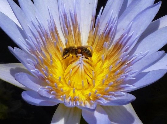 The Villa At Hannam Vale: Bee in water lily in lily pond