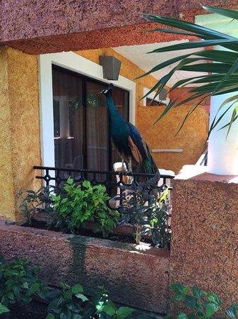 IBEROSTAR Paraiso Del Mar : peacocks