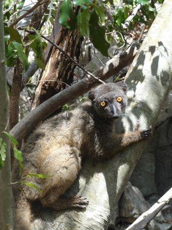 Ankarana Reserve : lémurien