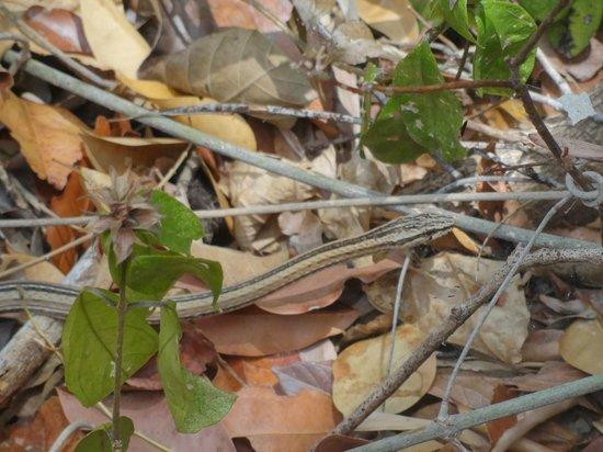 Ankarana Reserve : serpent