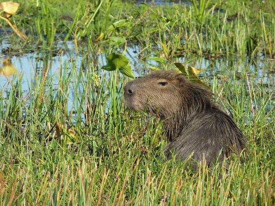 Esteros de Ibera: You will spot many of these beautiful capybaras and much more