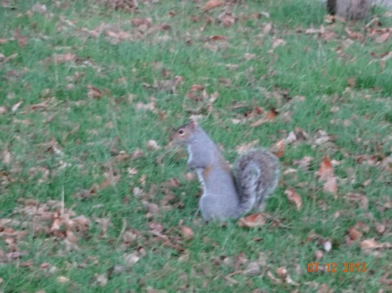 Richmond-upon-Thames, UK: Squirrel scurrying across the park