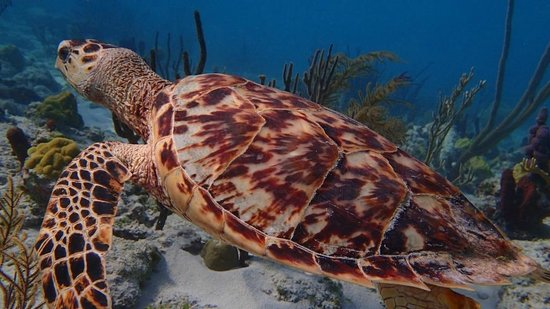 Beaches Turks and Caicos Resort Villages and Spa: Hawksbill Turtle