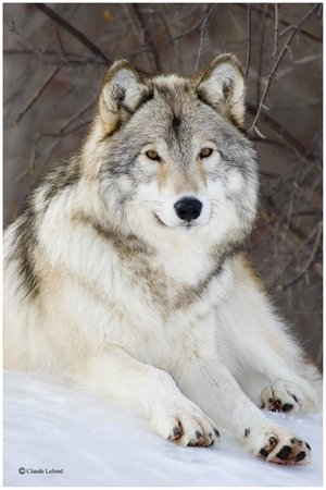 Loup gris - Grey Wolf | Zoo Ecomuseum