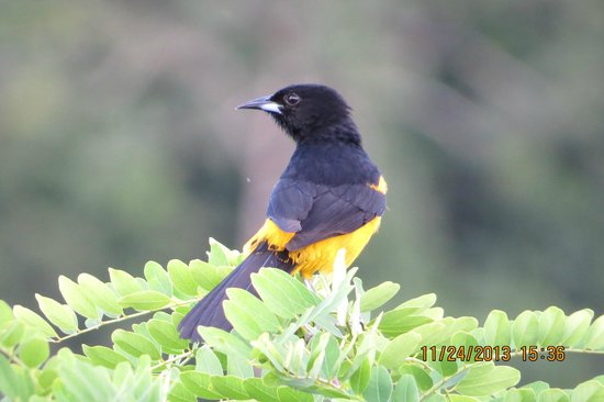 La Mansion Inn Arenal Hotel : One of the many visitors observed from our terrace