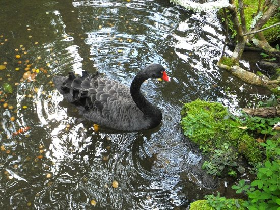 Byodo-In Temple: The Black Swan..!