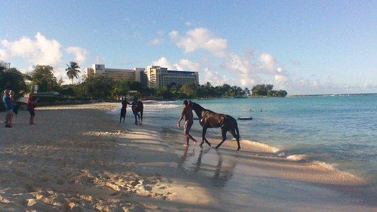 Radisson Aquatica Resort Barbados: horsrs swimming on hotel beech