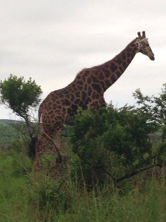 Heritage Day Tours & Safaris: Giraffe