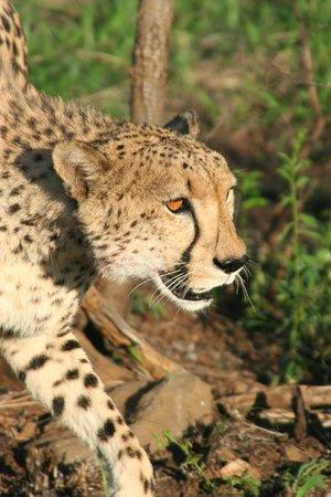 Thanda Safari: Cheetah