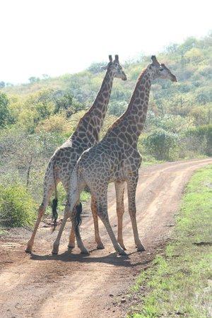Thanda Safari Lodge: Giraffen