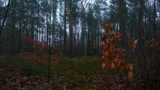 Stalag Luft III Prisoner Camp Museum: Woods roughtly at break point of Williams/Coder tunnel