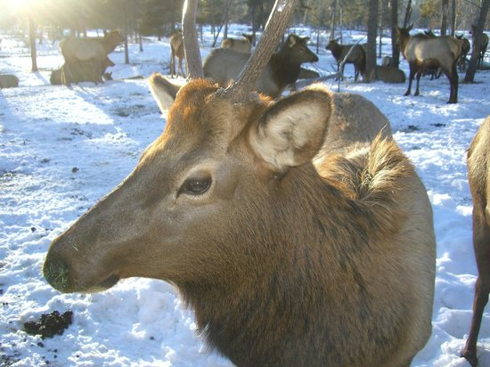 Ashley Inn: See the Elk close up and personal...magificent opportunity