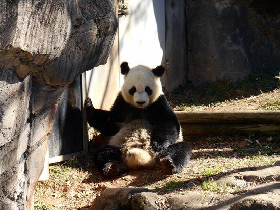 Zoo Atlanta: Panda Bear