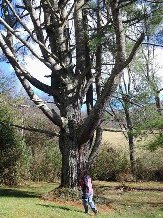 Henson Cove Place B&B: Magical White Pine Tree