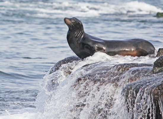 La Jolla Cove Hotel & Suites: 200 yards from hotel--sea lions cavorting