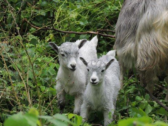 Friendly Beach: Cute wild goats!