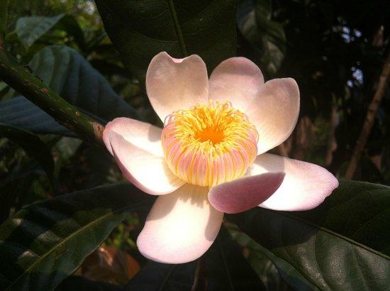 Mohn Mye Horm: flower