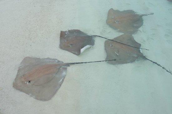 Banyan Tree Vabbinfaru : Sting Rays