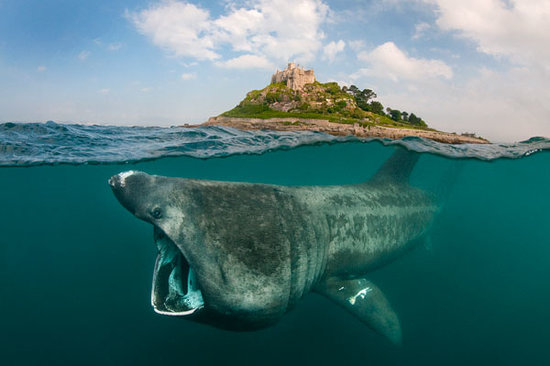 St Michael's Bed & Breakfast: A (plankton eating) basking shark off St Michaels Mount