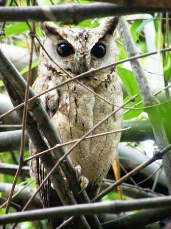 Vanghat Lodge : Scops Owl