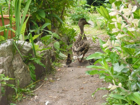 The Croft Guest House: Our resident Mallard with young