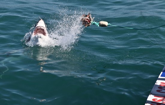 Grootbos Private Nature Reserve: shark Diving (nothing to be scared of. Sharks are just beautiful)