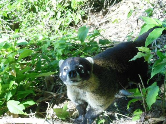 Samara Trails: Coati