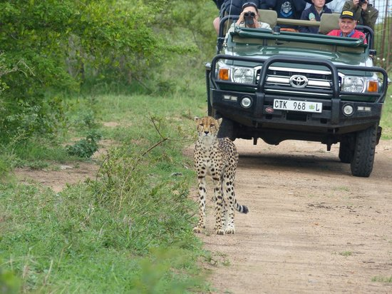 Thornybush Game Lodge: guepard