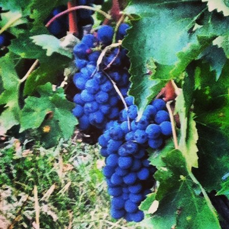 Organic Tuscany Cooking Classes: Fresh grapes from the vineyard